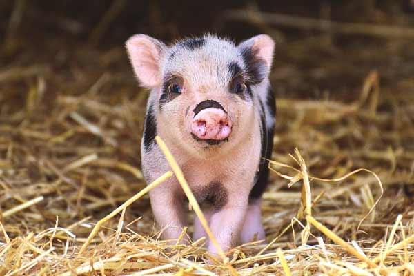 Pig / Swine